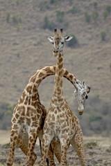 Two male Masai Giraffe (Giraffa camelopardalis tippelskirchi) sparring, Masai Mara National Reserve, Kenya, East Africa, Africa