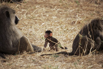 Olive baboon female and infant (Papio cynocephalus anubis), Tarangire National Park, Tanzania, East Africa, Africa