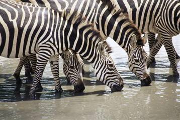 Burchell's zebra (Equus burchelli), drinking, Tarangire National Park, Tanzania, East Africa, Africa