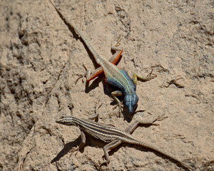 Male and female Augrabies flat lizard (Platysaurus broadleyi), Augrabies Falls National Park, South Africa, Africa