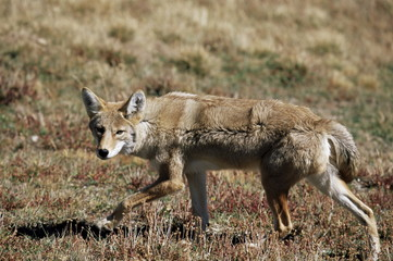 Coyote (Canis latrans), Rocky Mountain National Park, Colorado, United States of America, North America