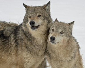 Two Gray Wolves (Canis lupus) in the snow in captivity, near Bozeman, Montana, United States of America, North America