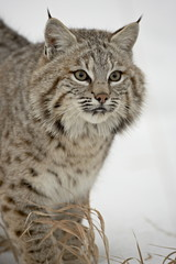 Bobcat (Lynx rufus) in snow in captivity, near Bozeman, Montana, United States of America, North America