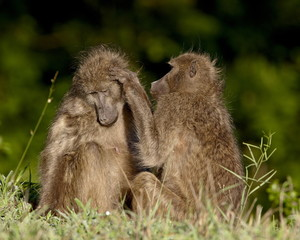 Two Chacma Baboons (Papio ursinus) grooming, Kruger National Park, South Africa, Africa