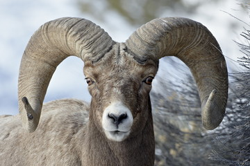 Bighorn Sheep (Ovis canadensis) ram, Yellowstone National Park, Wyoming, United States of America, North America