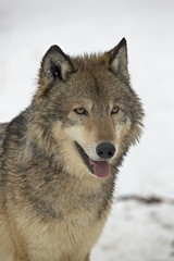 Gray Wolf (Canis lupus) in snow in captivity, near Bozeman, Montana, United States of America, North America