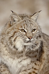 Bobcat (Lynx rufus) in the snow, in captivity, near Bozeman, Montana, United States of America, North America