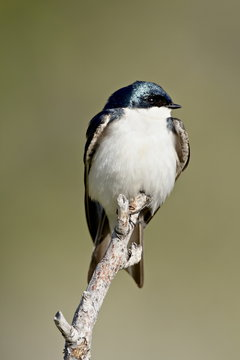 Tree swallow (Tachycineta bicolor), near Oliver, British Columbia, Canada