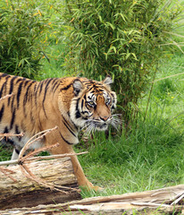 Prowling Tiger enters clearing, seemingly stalking. Sumatran Tiger, Panthera tigris sumatrae, side profile shot.