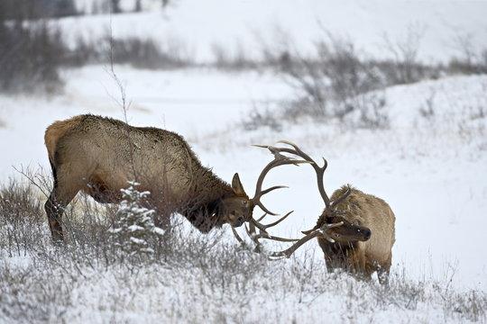 Two bull elk (Cervus canadensis) sparring in the snow, Jasper National Park, Alberta, Canada