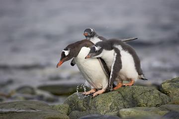 Gentoo penguin (Pygoscelis papua) adult with two chicks begging for food, Ronge Island, Antarctic Peninsula, Antarctica, Polar Regions