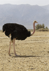 beautiful ostrich in the desert