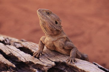 Central bearded dragon (Poona vitticeps) in captivity, Alice Springs, Northern Territory, Australia, Pacific