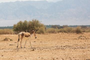 wild ass in the desert