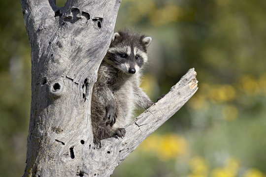 Baby raccoon (Procyon lotor) in captivity, Animals of Montana, Bozeman, Montana
