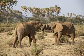 Two African elephant (Loxodonta africana) fighting, Samburu National Reserve, Kenya, East Africa, Africa