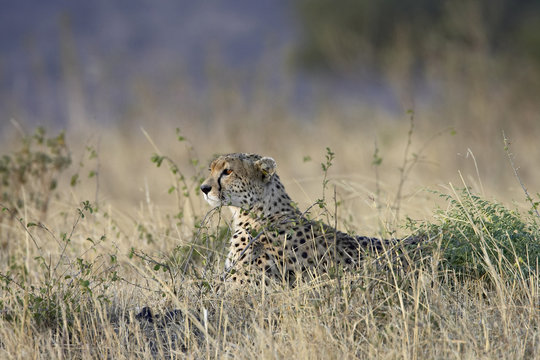Cheetah (Acinonyx jubatus) lying down while surveying an open plain, Masai Mara National Reserve, Kenya