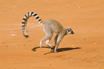 Ring-tailed Lemur (Lemur catta), Berenty Private Reserve, Madagascar, Africa