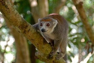 Crowned lemur (Eulemur coronatus), Ivoloina National Park, Toamasina, Madagascar, Africa