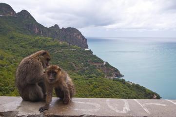 Barbary Macaque (Macaca sylvanus) at Cap Carbon, Bejaia, Kabylia, Algeria, North Africa, Africa
