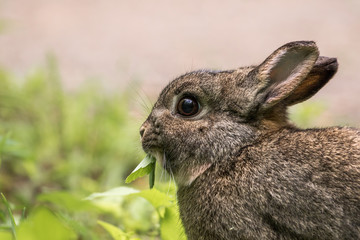Domestic Rabbit - Oryctolagus cuniculus. Surviving in the wild