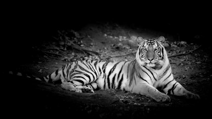 Fond de hotte en verre imprimé Bestsellers Black & White Tiger