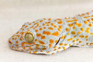 Focused eye and head gecko or gecko verticillatus, orange and grey colour skin gecko