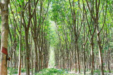 Para rubber tree plantation
