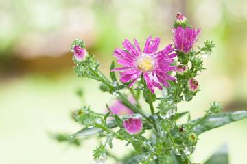 Beautiful closeup Purple flower Blur background. Soft focus.