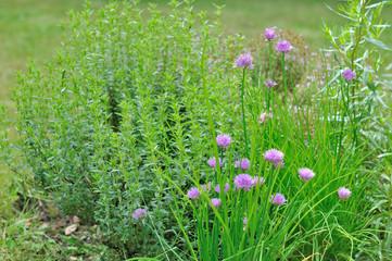 herbes aromatiques dans jardin