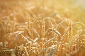Golden wheat fields - rich harvest
