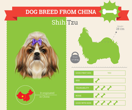 Shih Tzu Dog breed vector infographics.