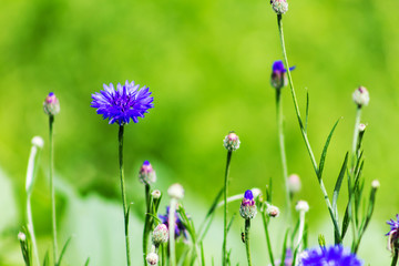 cornflower in a meadow on a sunny day, bee