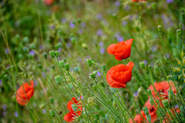 poppy flowers among the grass