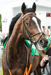 Close up of a Race horse in the the parade ring before the race