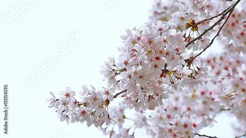 Wall mural Cherry blossom or Sakura in spring.
