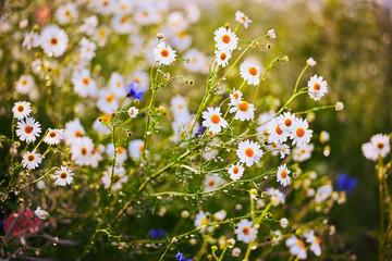 Fototapeta Polne kwiaty przy polu obraz