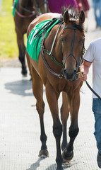 Walking a race horse to the parade ring