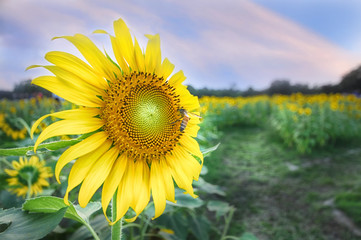 Beautiful sunflowers with bee on sunflower field background before sunset
