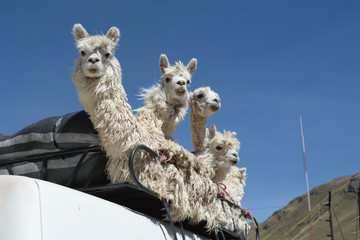 Group of Alpacas on the roof of the bus