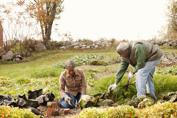 Senior couple gardening in cabbage bed