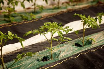 Organic tomato seedlings on farm