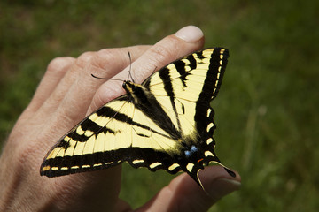 Tiger Swallowtail Butterfly on man's hand