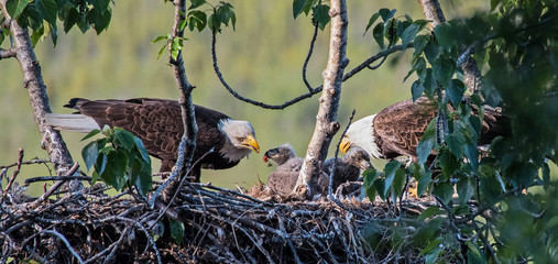 Adult bald eagles feeding their chicks