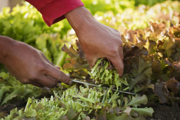 Close-up of hands cutting lettuce