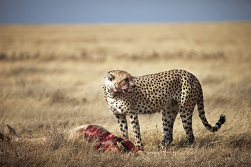 Cheetah Eating Carcass