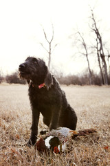 Hunting dog with dead pheasant