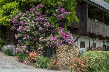 Wunderschöner Rosenbusch an einer alten Scheune