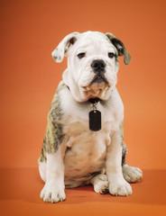 English bulldog sitting against orange background