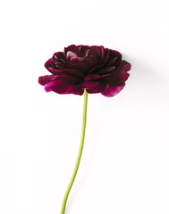 Close-up of dahlia against white background